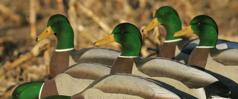 Hunting Ducks On Dry Land