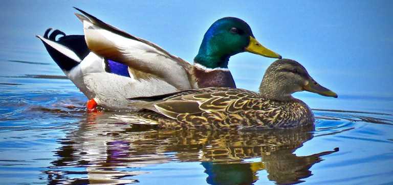 Mallard Duck Female