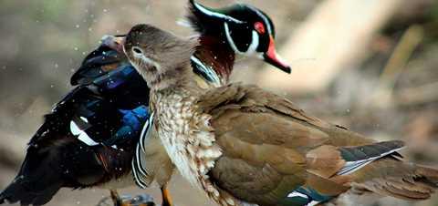Wood Duck Trifecta