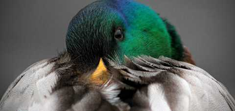 Waterfowl Feathers