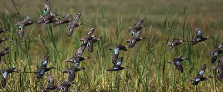 Understanding Waterfowl Flocking Together