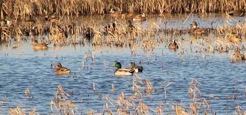 Redhead duck habitat