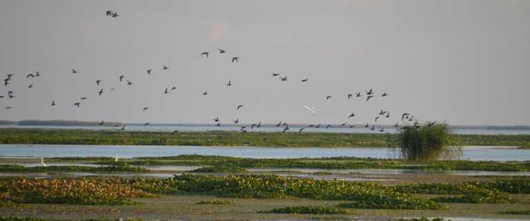 Waterfowl and wading birds take wing over newly created coastal marsh at Pass-a-Loutre WMA.