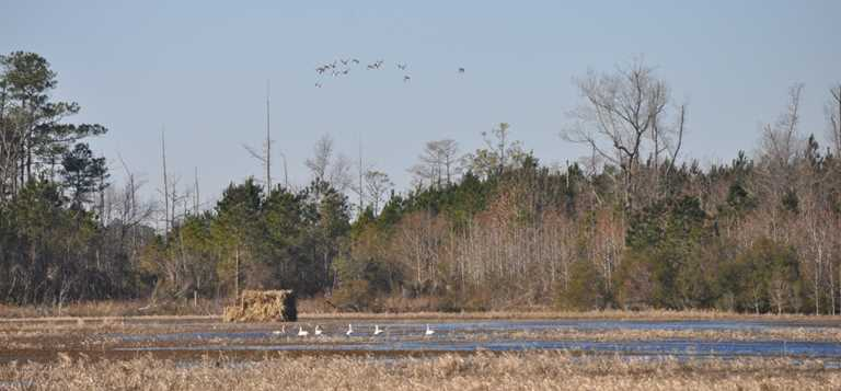 Waterfowl over a blind on Texas Plantation Game Land.