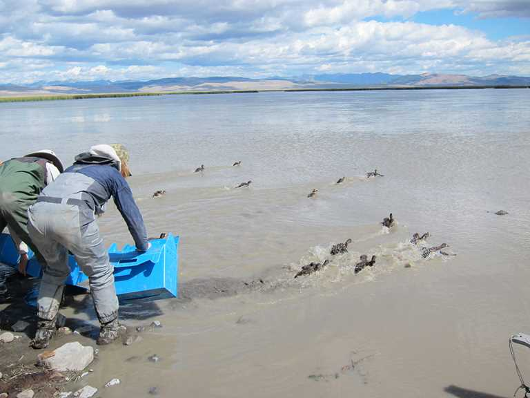 Volunteers release scaup captured at Red Rocks Lake NWR for research.