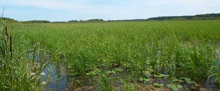 Wild rice grows in a lake in Atkin County, Minnesota.