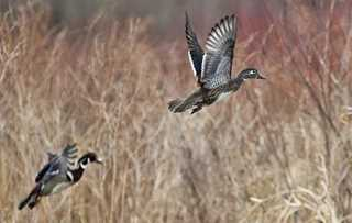A pair of Wood Ducks rising, Millbrook, NY