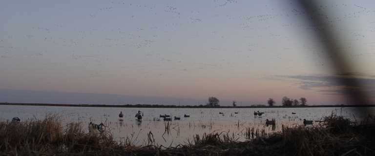 Waterfowl fly over a flooded Arkansas rice field in winter.
