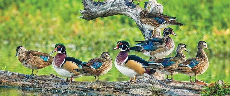 Understanding Waterfowl Woodies And Whistlers