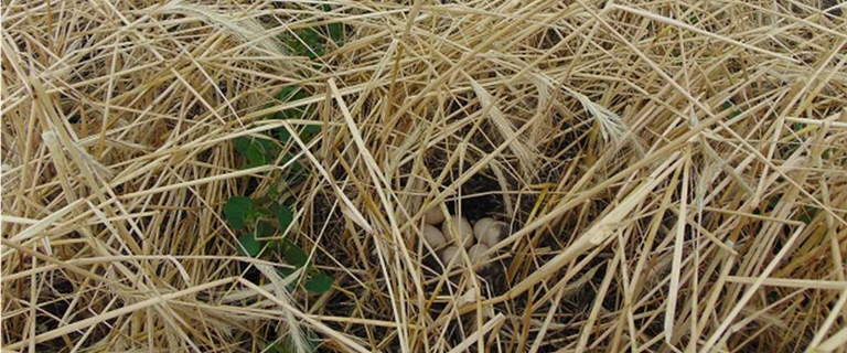 Gadwall nest in fall-seeded cereal rye initiated after planting soybeans in June.