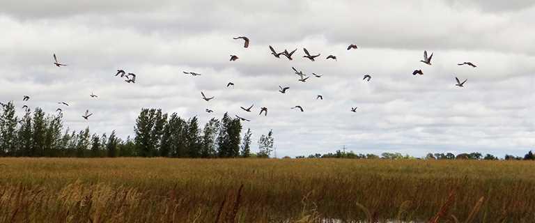 Ducks take flight near a restored wetland at Indian Lake Wildlife Management Area.