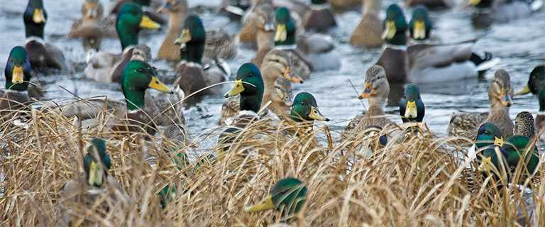 The Best Strategy To Use For Waterfowl Hunting - Minnesota Dnr