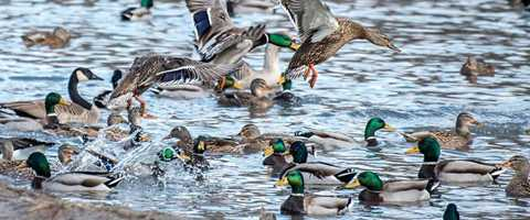 2018 Waterfowling Forecast