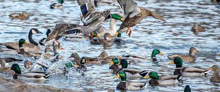 2018 Waterfowl Population Survey