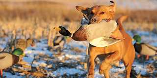 A Look Back At The Fascinating Origins Of Duck Dog