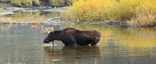 Shiras moose using wetland.