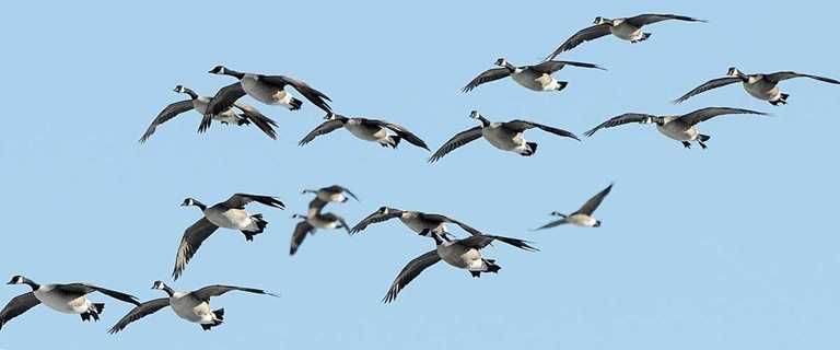 The return of the giant Canada goose has been a bonanza for waterfowlers