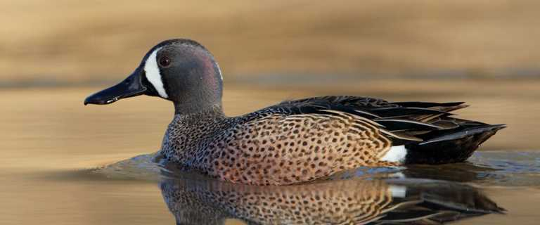 Migration Alert: Louisiana Habitat a Mixed Bag, Teal Numbers Improve from 2018 September Survey