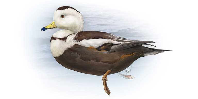 Understanding Waterfowl: The Mystery of the Labrador Duck