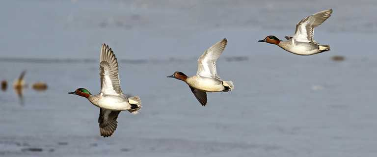 Migration Alert: Migration on Schedule, Hunting Slow in California