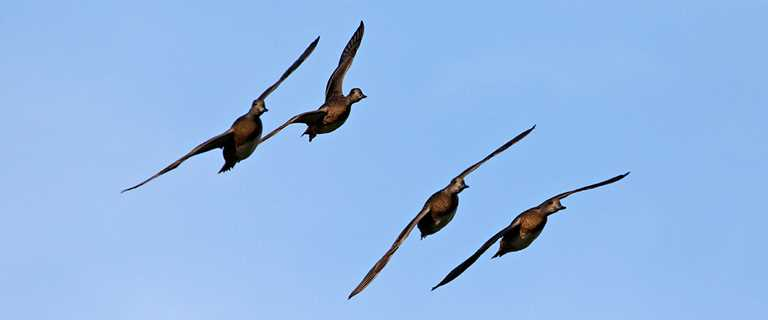 Migration Alert: South Texas Waterfowlers Taking Advantage of Early Cold, Solid Numbers