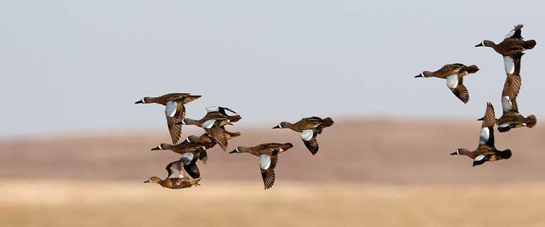 Migration Alert: Louisiana Hunters Reporting Spotty Duck Numbers