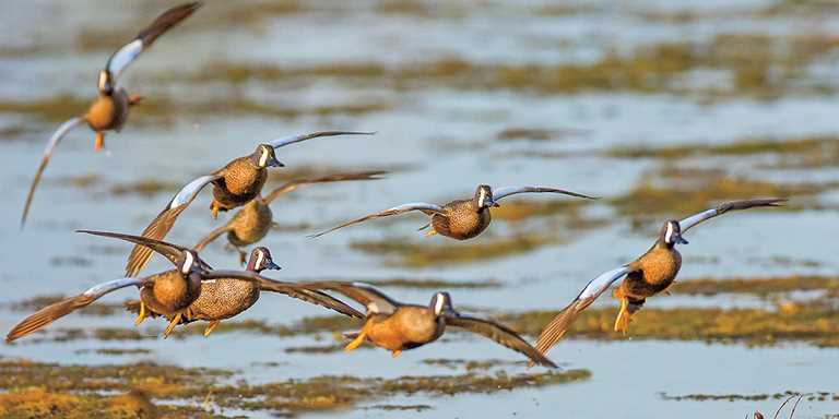 Blue-winged teal are among several species of waterfowl that rely on Lake Cuitzeo and other wetlands in Mexico.