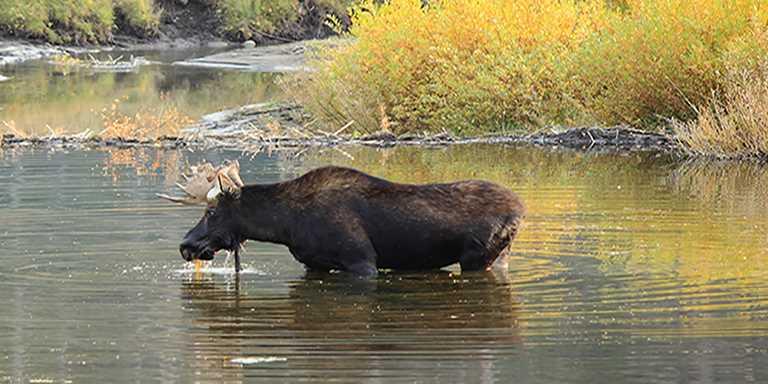 Montana Shiras moose