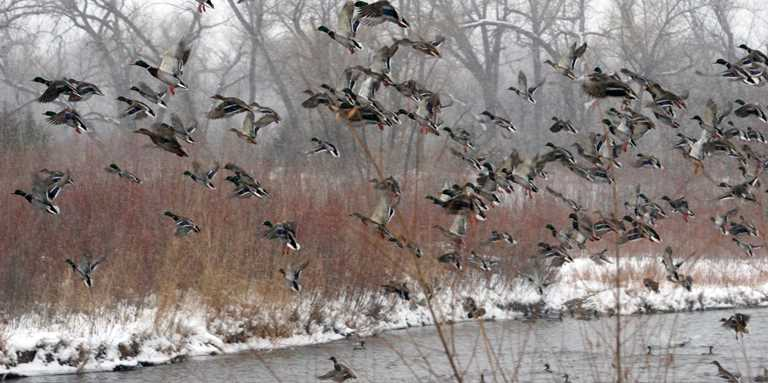 Mallards on a Nebraska Rainwater Basin wetland