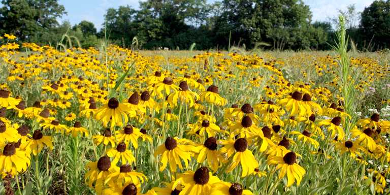Wildflowers bloom on a Ducks Unlimited project in Michigan.
