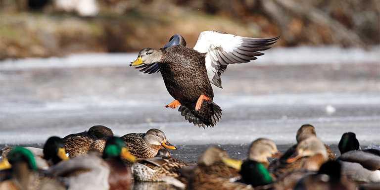 American black ducks once greatly out-numbered mallards in the Atlantic Flyway.