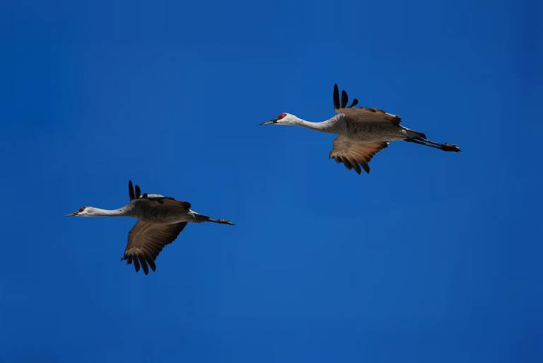 Sand hill cranes flying over the Platte River in Nebraska.