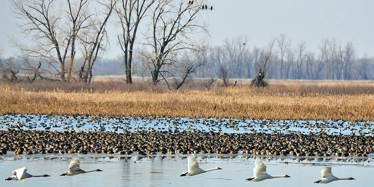 Eagles, ducks and swans at Loess Bluffs National Wildlife Refuge.