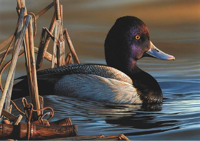 The 2021-22 Federal Duck Stamp features a single lesser scaup drake painted by Richard Clifton of Milford, Del.