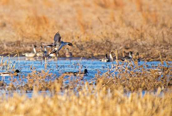 Restored seasonal wetlands provide important food resources for migrating and wintering northern pintails and mallards.