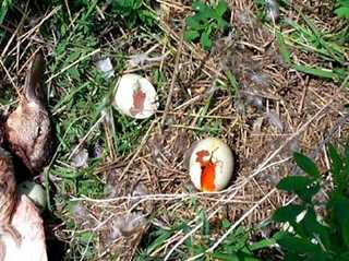 A waterfowl nest destroyed by predators in the Prairie Pothole Region.