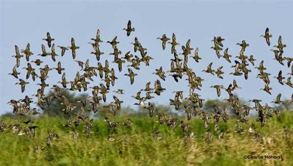 Millions of migratory birds depend on Gulf Coast habitats for wintering and migration habitat.