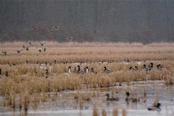 Waterfowl depend on winter-flooded rice fields in all three of the continent