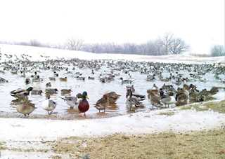 AFTER: These before-and-after photos of a recently completed wetland restoration project in Nebraska show how quickly waterfowl will occupy