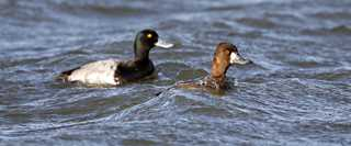 Scaup6