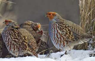 hungarianPartridge