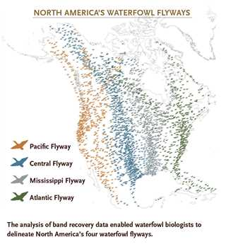Understanding Waterfowl: The Flyways on killdeer migration map, downy woodpecker migration map, reindeer migration map, snow geese migration map 2014, canadian geese migration route map, migratory bird migration map, turkey vulture migration map, elf owl migration map, broad-tailed hummingbird migration map, snow geese migration routes, blue-winged teal migration map, swan migration map, ruby-throated hummingbird migration map, eastern phoebe migration map, purple finch migration map, coyote migration map, bald eagle migration map, greater white-fronted goose migration map, mule deer migration map, canada geese migration map,