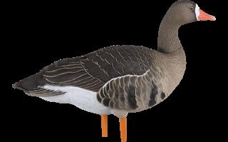 AvianXSpeck
