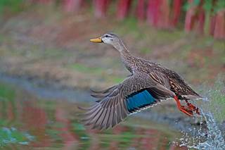 mottled-duck