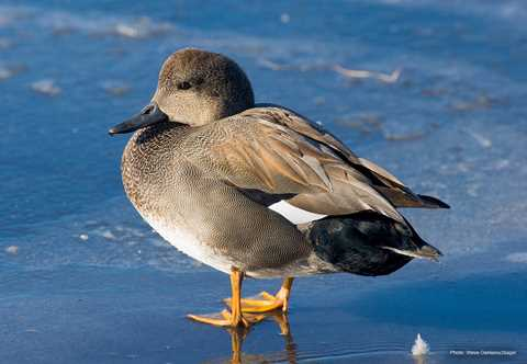 Gadwall | Types of Ducks & Geese