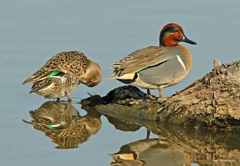green winged teal - A Picture Of A Duck