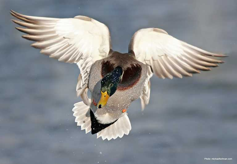 mallard - A Picture Of A Duck