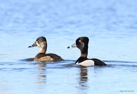5504de93ef797 Types of Ducks & Geese | Duck Identification
