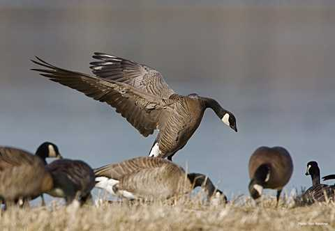 Waterfowl ID Duck ID Duck Sounds Duck Photos Goose ID Ducks