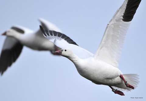 Types of Ducks & Geese | Duck Identification